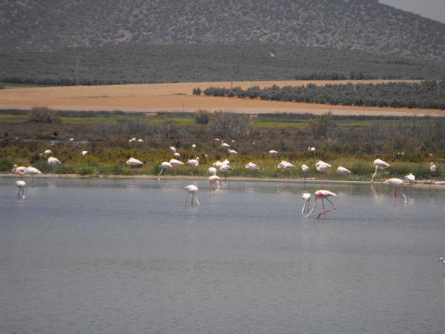 Flamingos in their natural habitat